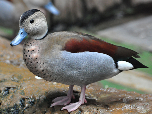 photo Callonetta leucophrys / Ringed teal