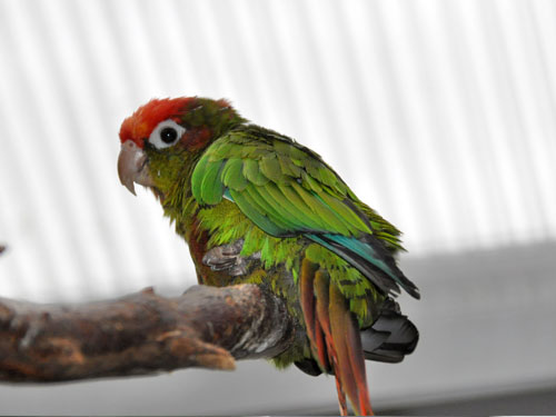 Rose-crowned conure