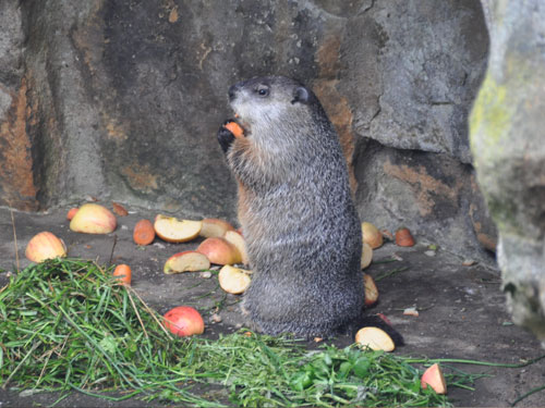 photo Marmota monax / Woodchuck