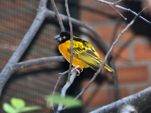 Black-headed weaver