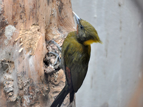 photo Greater yellow-naped woodpecker / <span class='cursive'>Chrysophlegma flavinucha</span>