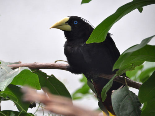 photo Crested oropendola / <span class='cursive'>Psarocolius decumanus</span>