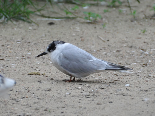 photo Common tern / <span class='cursive'>Sterna hirundo</span>