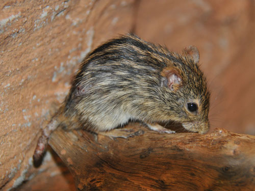 photo Zebra mouse / <span class='cursive'>Lemniscomys barbarus</span>
