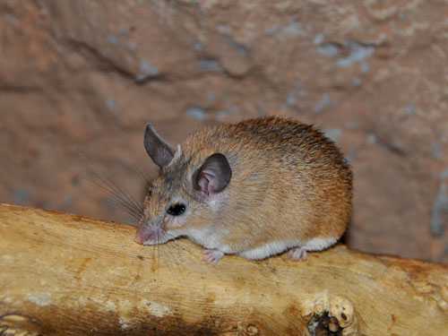 photo Acomys dimidiatus / Sinai spiny mouse