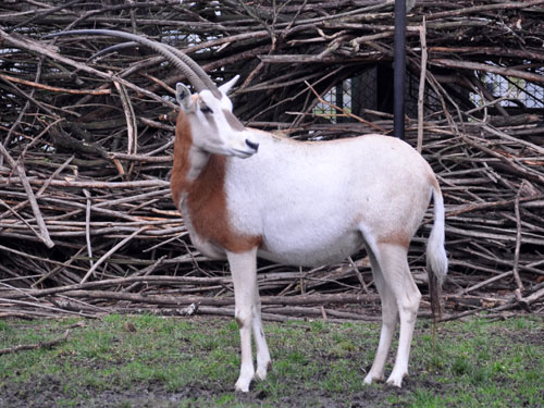 photo Oryx dammah / Scimitar-horned oryx