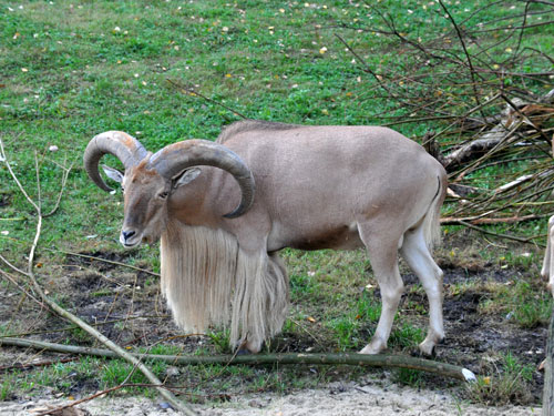 Libyan barbary sheep