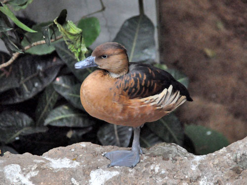 Fulvous whistling duck