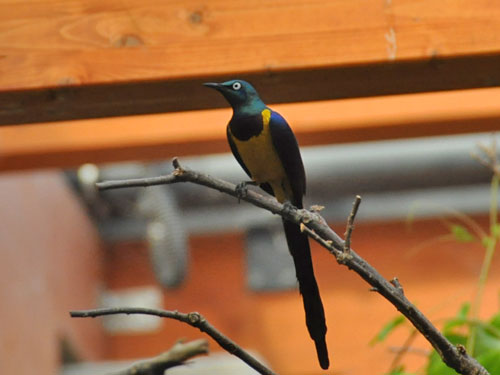 Golden-breasted starling