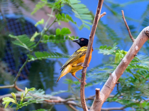 photo Black-headed weaver / <span class='cursive'>Ploceus cucullatus collaris</span>