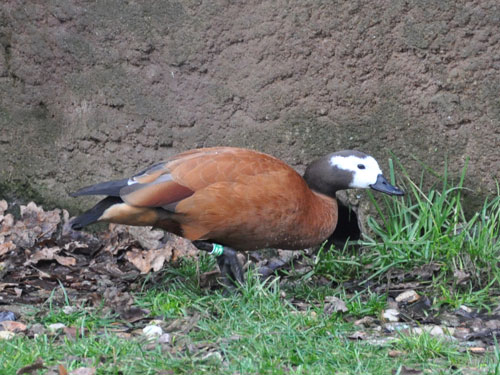 photo South African shelduck / <span class='cursive'>Tadorna cana</span>