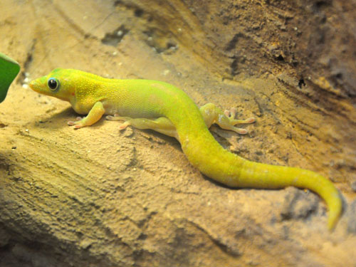 Flat-tailed day gecko