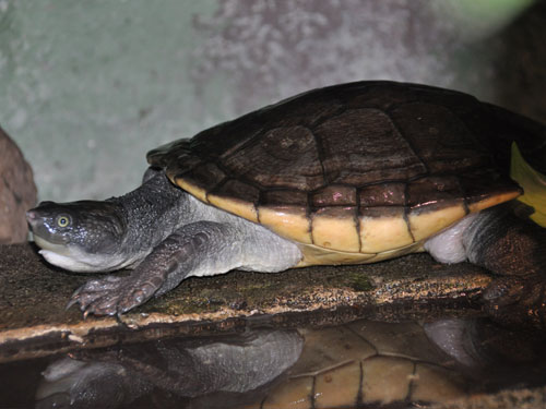 New Guinea snapping turtle
