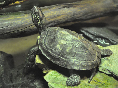 Chinese red-necked pond turtle