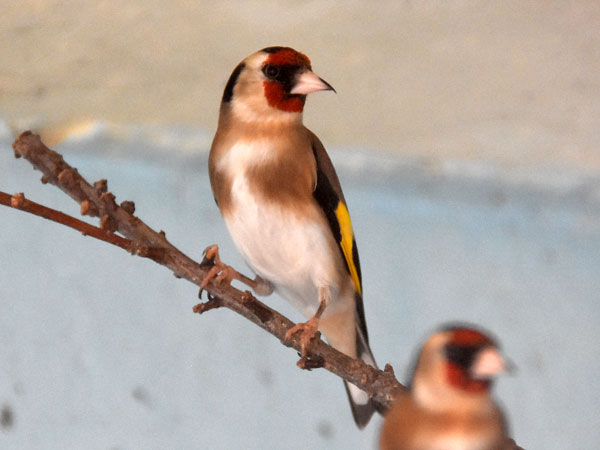 photo Goldfinch / <span class='cursive'>Carduelis carduelis niediecki</span>