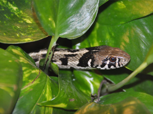 photo Checkered gartersnake / <span class='cursive'>Thamnophis marcianus</span>