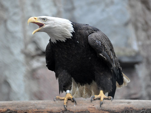 photo Northern bald eagle / <span class='cursive'>Haliaeetus leucocephalus washingtoniensis</span>
