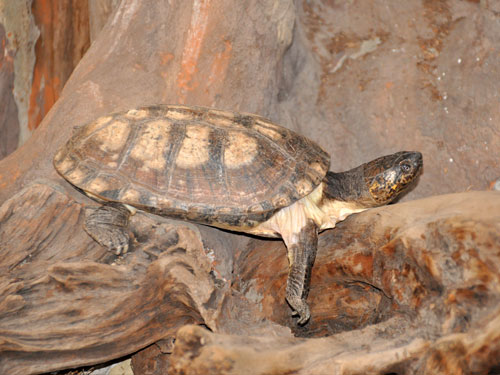 West African black forest turtle