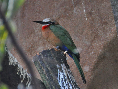 photo White-fronted bee-eater / <span class='cursive'>Merops bullockoides</span>