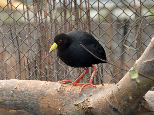 photo Black crake / <span class='cursive'>Amaurornis flavirostra</span>