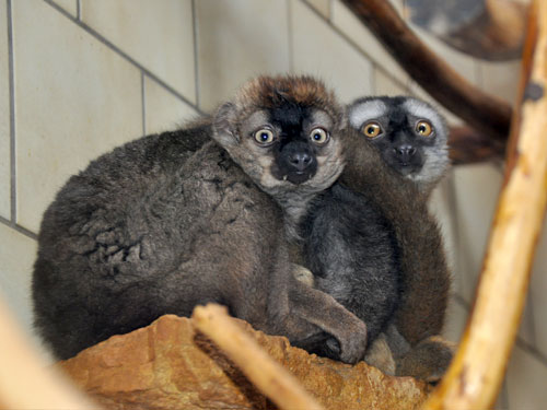 photo Red-fronted lemur / <span class='cursive'>Eulemur rufus</span>