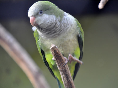 photo Monk parakeet / <span class='cursive'>Myiopsitta monachus</span>