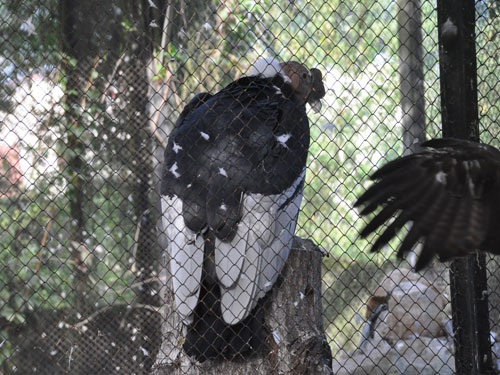 photo Andean condor / <span class='cursive'>Vultur gryphus</span>