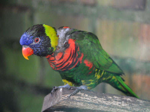 photo Rainbow lorikeet / <span class='cursive'>Trichoglossus haematodus</span>