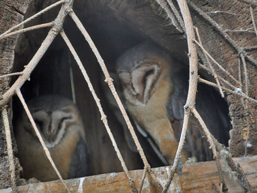 photo Common barn owl / <span class='cursive'>Tyto alba gutatta</span>