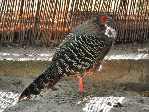 photo Siamese crested fireback / <span class='cursive'>Lophura diardi</span>