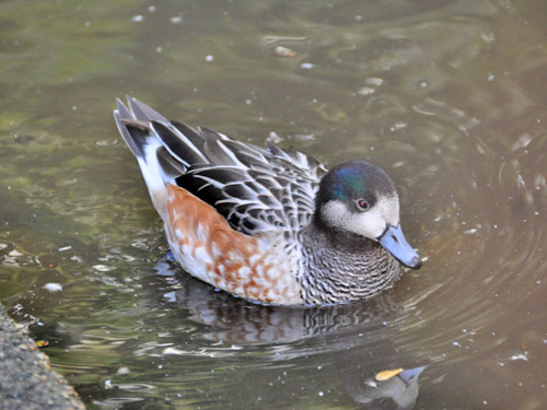 photo Chiloe wigeon / <span class='cursive'>Mareca sibilatrix</span>