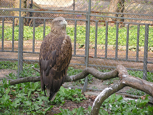 photo White-tailed sea eagle / <span class='cursive'>Haliaeetus albicilla</span>