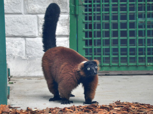 photo Ruffed lemur / <span class='cursive'>Varecia rubra</span>