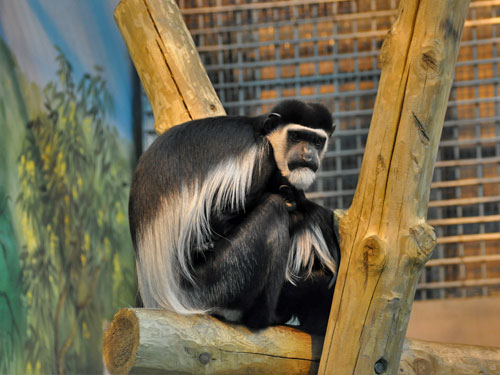 photo Eastern black-and-white colobus / <span class='cursive'>Colobus guereza</span>