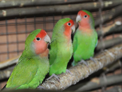 photo Peach-faced lovebird / <span class='cursive'>Agapornis roseicollis</span>
