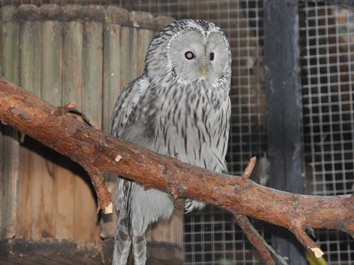 photo Ural owl / <span class='cursive'>Strix uralensis</span>