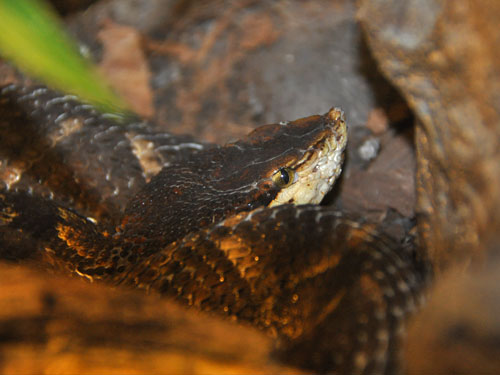 photo Chinese pit viper / <span class='cursive'>Deinagkistrodon acutus</span>