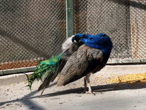 photo Common peafowl / <span class='cursive'>Pavo cristatus</span>