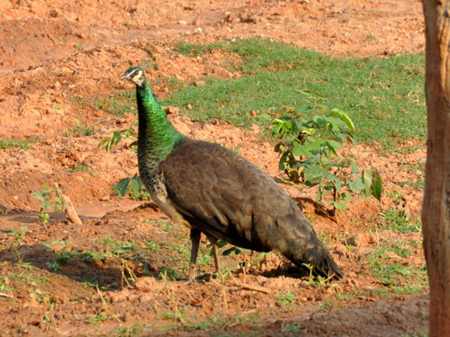 Indochinese green peafowl