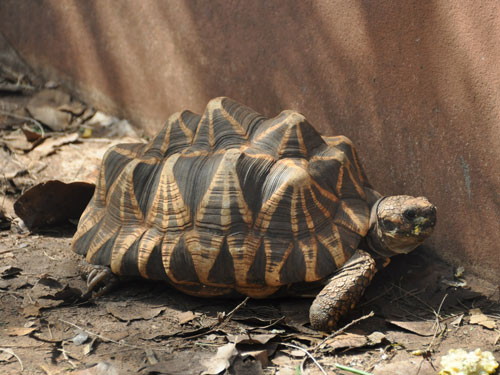photo Burmese star tortoise / <span class='cursive'>Geochelone platynota</span>