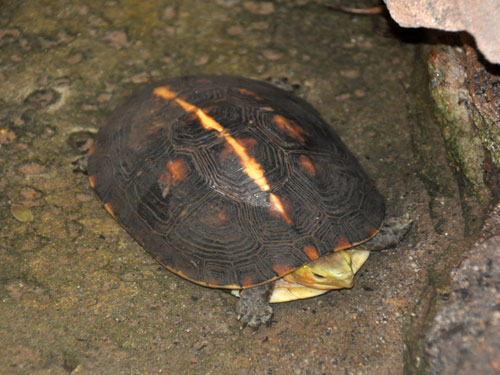 Yellow-margined box turtle