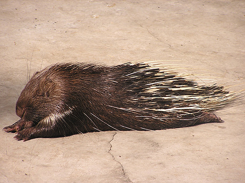 Chinese porcupine