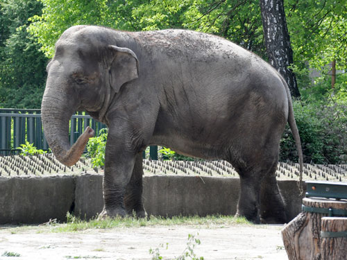 photo Sri Lankan elephant / <span class='cursive'>Elephas maximus maximus</span>