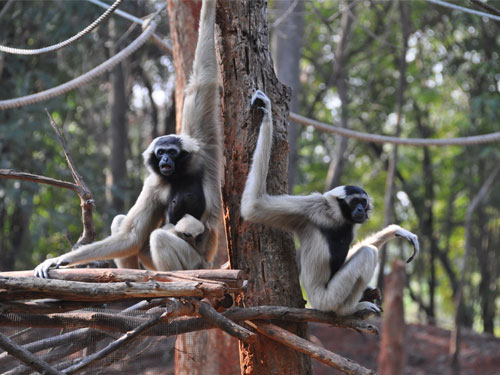 Pileated gibbon