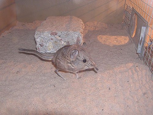 photo Short-eared elephant shrew / <span class='cursive'>Macroscelides proboscideus</span>