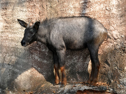 Indochinese serow