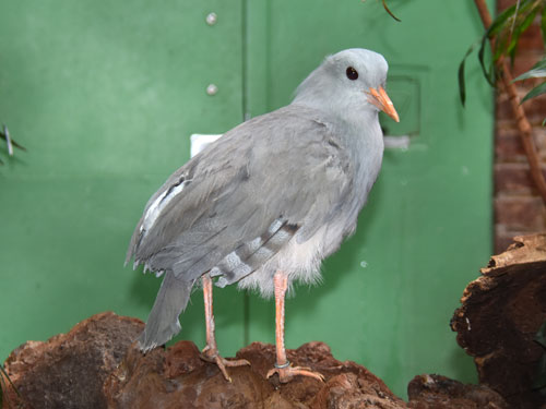 photo Kagu / <span class='cursive'>Rhynochetos jubatus</span>