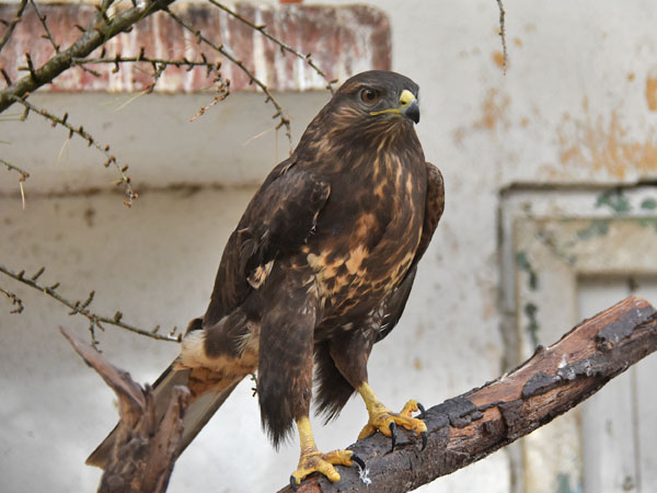 photo Eurasian common buzzard / <span class='cursive'>Buteo buteo</span>