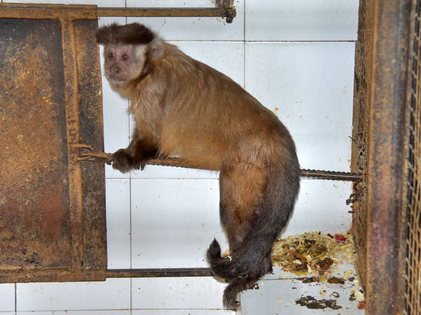 photo Tufted capuchin / <span class='cursive'>Sapajus apella</span>
