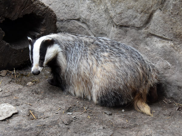 photo Eurasian badger / <span class='cursive'>Meles meles meles</span>